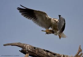 Black-winged Kite4