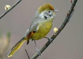 Chestnut-tailed-Minla[1]