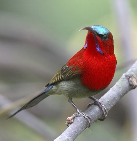 Crimson-Sunbird2[1]